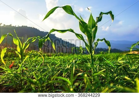 Young Green Corn Plants On Farmland. Farm Corn And Agriculture Concept.