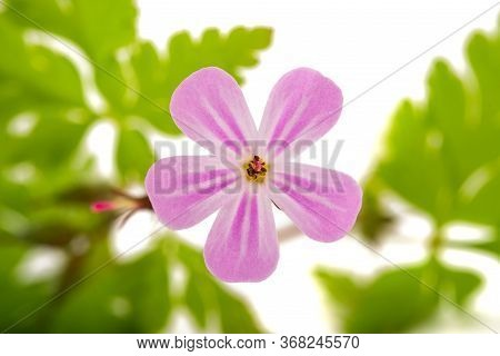 Herb Robert Flower Isolated On White Background