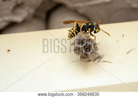 Wasp Building Nest. Closeup Tree Or Paper Wasp. Macro Insect. Close Up Of Wasp Nest
