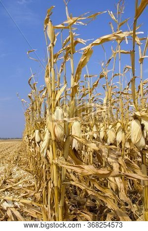 Golden Corn Field With Harvested Corn, Ears Of Corn, Ears Of Corn, Leaves
