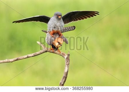 The Red-footed Falcon (falco Vespertinus), Formerly Western Red-footed Falcon Mating On A Branch Wit