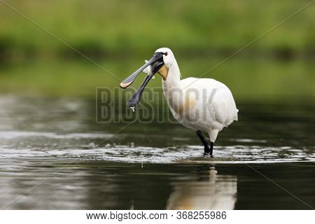 The Eurasian Spoonbill Or Common Spoonbill (platalea Leucorodia) With Fish On The Beak.big White Wat
