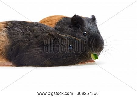 Guinea Pig Cavia Porcellus Is A Popular Pet. Two Young Black And Red Guinea Pigs Eat Cucumber. Isola