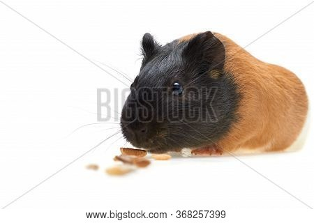 Guinea Pig Cavia Porcellus Is A Popular Domestic Guinea Pig That Eats Animal Feed. A Pile Of Food Fo
