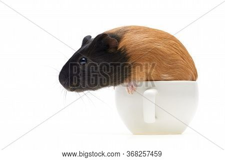 Guinea Pig Cavia Porcellus Is A Popular Household Pet. Funny Little Guinea Pig Sits In A Tea Cup. St