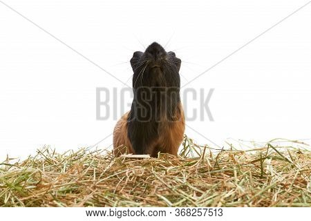 Portrait Of A Guinea Pig Pet Muzzle, Bottom View. Black And Red Guinea Pig In The Hay. Curious Guine