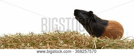 Guinea Pig Cavia Porcellus Is A Popular Pet. A Young Tricolor Guinea Pig Stands Sideways On Dry Gras