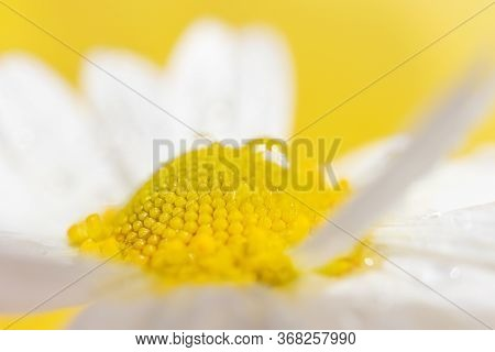 Chamomile Close-up, Detailed Macro Photo. Yellow Background. The Concept Of Summer, Healing Herbs.