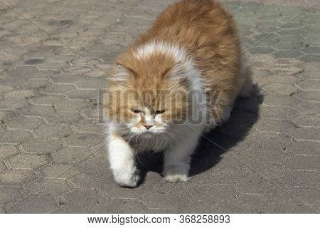 Thick Fat, Fattened Red-white Fluffy Angry Angry Unfriendly Cat Walks Down The Sidewalk With His Eye