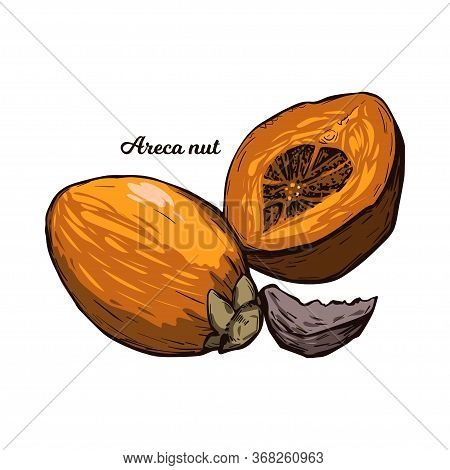 Areca Betel Nut Isolated Vector Illustration. Seed Of Palm Areca Catechu, Chewing Betelnut. Indian P