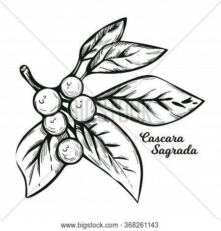 Cascara Sagrada Bearberry Plant With Green Leaves Isolated Vector Illustration. Rhamnus Purshiana, C