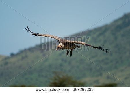 African White Backed Vulture Glides Past Hills