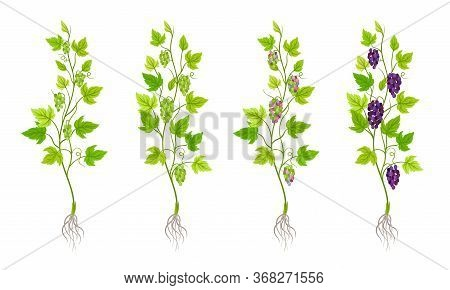 Green Grapevine Growing With Sprout And Young Plant With Roots For Planting Vector Set