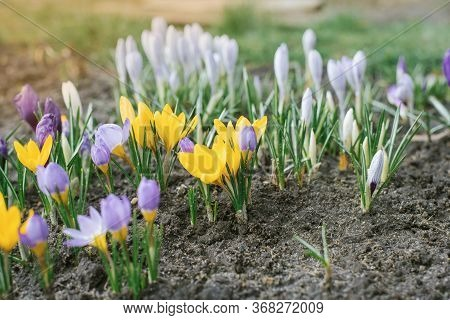 Spring Crocuses Bloom In The Park. Fresh Beautiful Purple And Yellow Crocuses, Selective Focus.