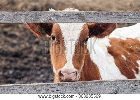 Young White And Red Calf On A Dairy Farm. Mammal Animal Pet In Agriculture. Young Bull In The Stall.