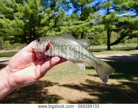 Large Mouth Bass Held With A Green Trees Background