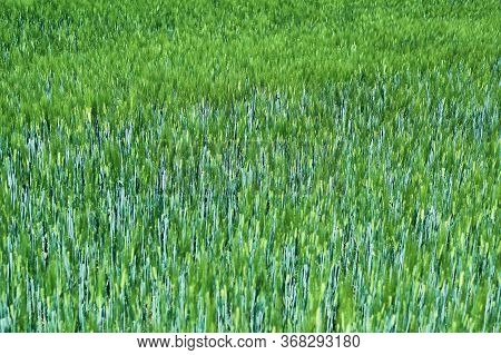 Fresh Green Cereal Field In Spring Sunshine. Barley Grain Is Used For Flour, Barley Bread And Beer,