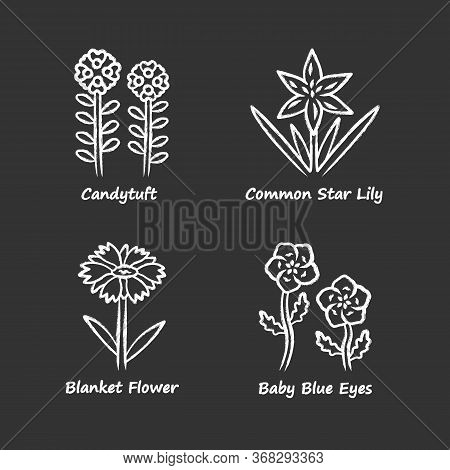 Wild Flowers Chalk Icons Set. Candytuft, Common Star Lily, Baby Blue Eyes, Blanket Flower. Blooming