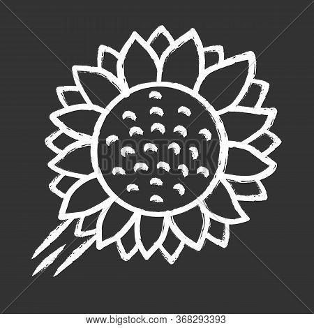 Helianthus Chalk Icon. Sunflower Head. Field Blooming Flower. Agriculture Symbol. Wild Plant. Summer