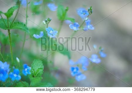 Tiny Blue Wildflowers Floral Bokeh. Soft, Low Shallow Focus. Veronica Persica - Birdeye Speedwell, C