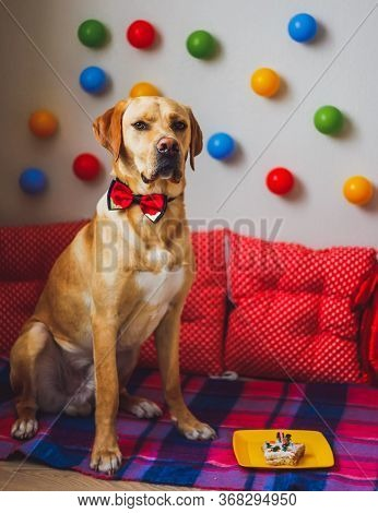 A Beautiful Labrador Dog With Cake And Colorful Interior In His Birthday. Cute Colorful Pets Concept