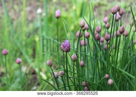 Green Allium Schoenoprasum With Purple Buds And Flowers. Wild Chives Flower, Flowering Onion, Garlic