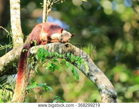 A Malabar Giant Squirrel Sitting On A Branch Of A Tree And Looking Towards The Camera With Beautiful