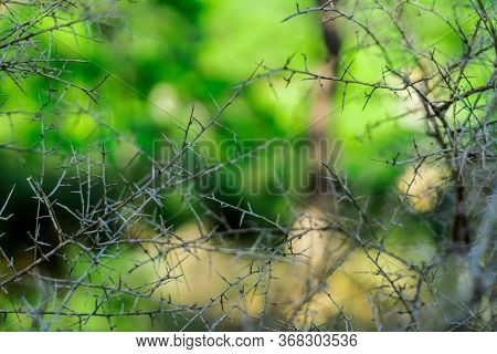Impenetrable Thickets Of Thorns In The Forest. Insurmountable Obstacle. Dangerous Plants. Photograph