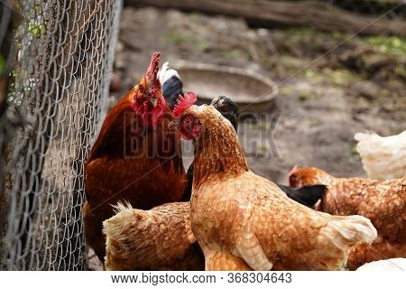 Red Chicken Walking In Paddock. Ordinary Red Rooster And Chickens Looking For Grains While Walking I