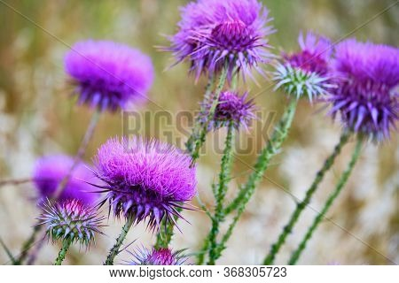Buds Of Carduus Nutans Or Musk Thistle. Lots Of Nodding Plumeless Thistle Selective Focus