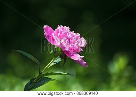 Lonely  Pink Fresh Pion Flower On Blurred Dark Green Floral Background. Spring Or Summer Time