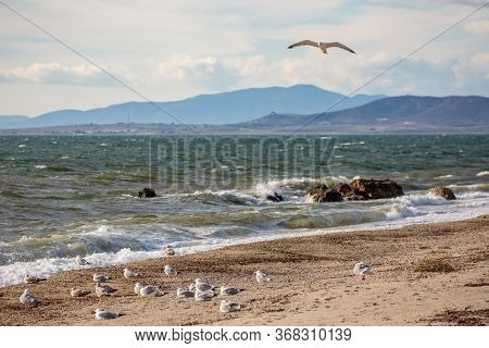 One Seagull Flying Over Flock Of Seagulls Resting On The Beach And Looking Towards The Sea. Late Aut