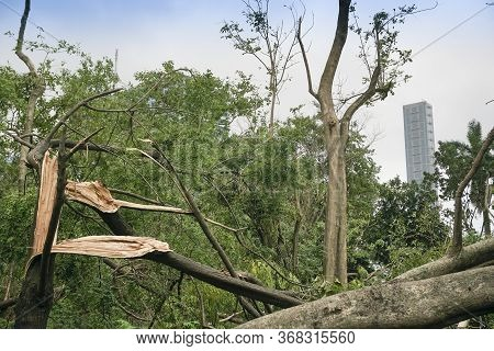 Kolkata, West Bengal, India - 21st May 2020 : Super Cyclone Amphan Has Uprooted Tree Which Fell On G