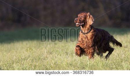 Beautiful Happy Irish Setter Pet Dog Walking In The Meadow Grass