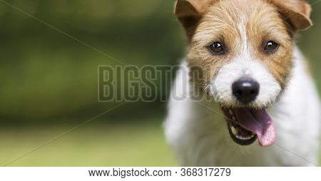 Funny Happy Crazy Smiling Excited Jack Russell Terrier Pet Dog Puppy Panting In Summer. Head, Face,