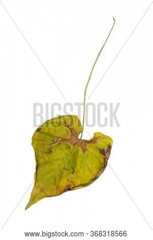 One wilted leaf isolated on white background
