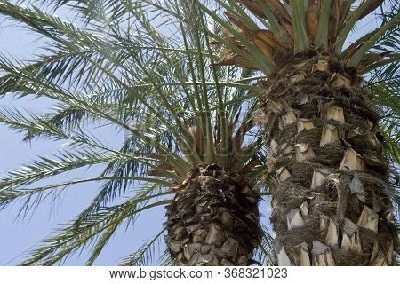 Close-up Of Two Palm Trees In Front Of Blue Sky And Bright Sun, Back Lit