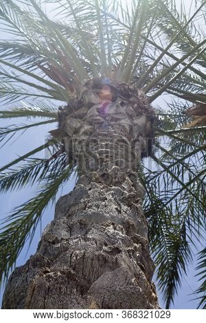 Close-up Of A Tall Palm Tree In Front Of Blue Sky And Bright Sun, Back Lit