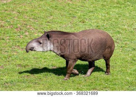 Adult Lowland tapir, Tapirus terrestris. Side profile. Indigenous to lowland areas of South America.