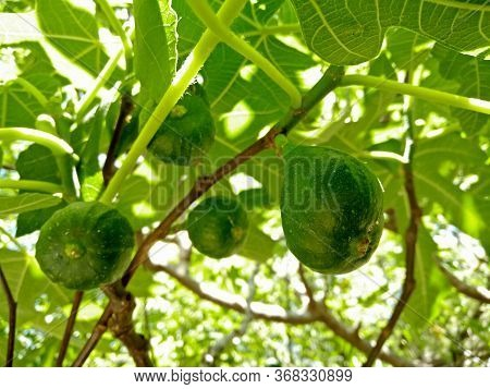 a closeup pic of green figs between the fig tree branches in a garden in springtime