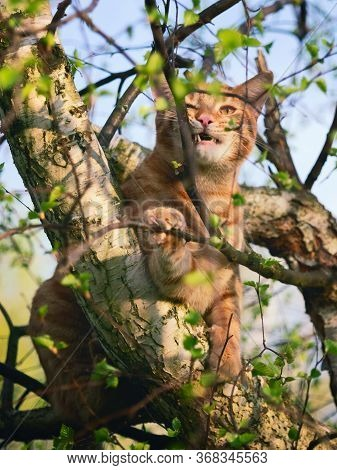 Red Cat Sitting On A Tree With Young Spring Foliage And Nibbles Branches