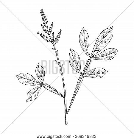 Vector Drawing Amargo, Bitter-wood, Quassia Amara, Hand Drawn Illustration Of Medicinal Plant