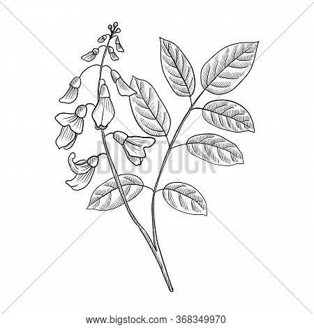 Vector Drawing Jamaica Dogwood, Piscidia Piscipula, Florida Fishpoison Tree, Hand Drawn Illustration