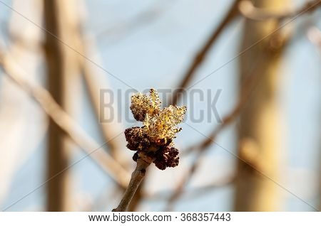 Close-up Of A Developing Male Blossom Of Fraxinus Excelsior, The Ash Tree, In Springtime
