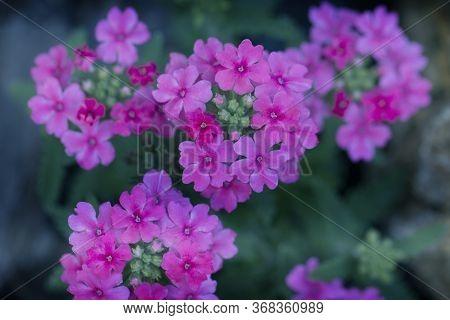 Pink Verbena Hybrida Blooming