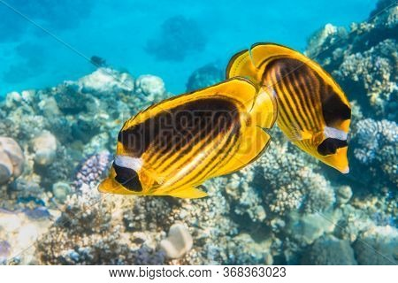 Pair Of Raccoon Butterflyfish (chaetodon Lunula, Crescent-masked, Moon Butterflyfish) Over A Coral R