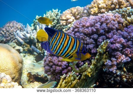 Royal Angelfish (regal Angel Fish) Over A Coral Reef, Red Sea, Egypt. Tropical Colorful Orange, Whit