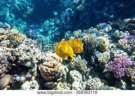 Blue-cheeked Butterflyfish (chaetodon Semilarvatus, Blue Mask, Golden Butterflyfish) Over A Coral Re