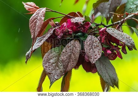 Branch Decorative Apple Tree With Reddish Leaves And An Ovary Of Flowers. Onamental Apple Tree.