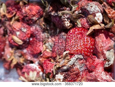 Rotten Garden Strawberries On The Landfill. Spoilt Products. Pile Of Garbage.